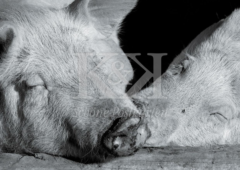Schöne Postkarte Nr. 27 · Schwein gehabt! © 2018